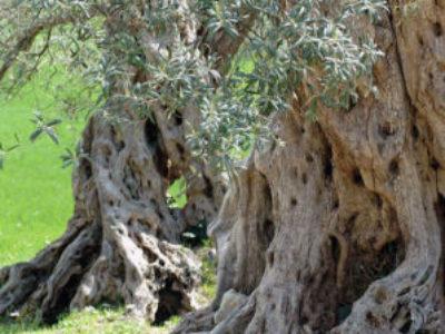 シチリア島のオリーブの木