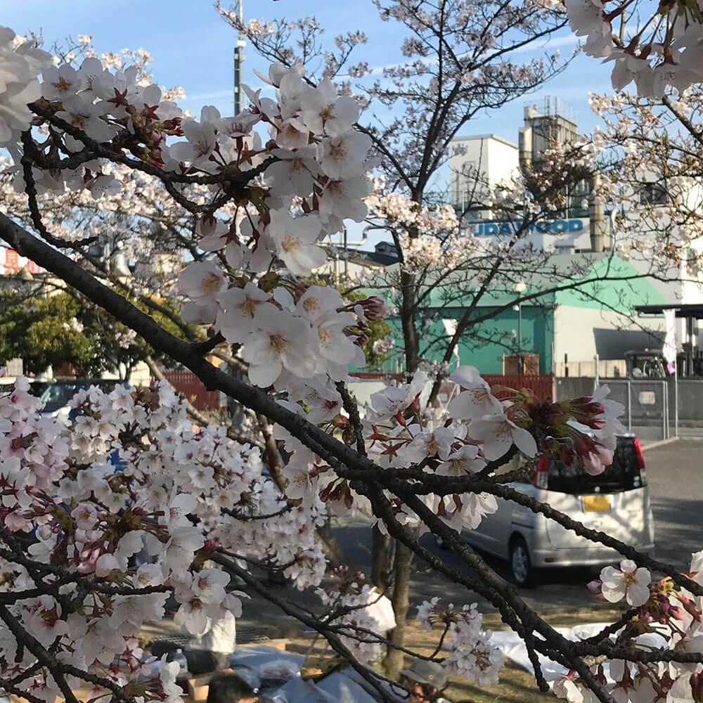 桜並木の向こうに見えるユダ木工本社