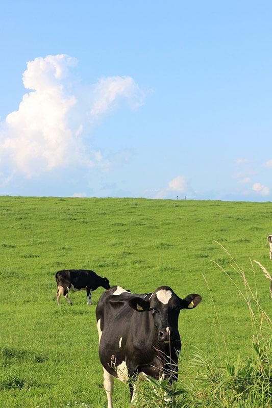 黒木牧場の乳牛たち