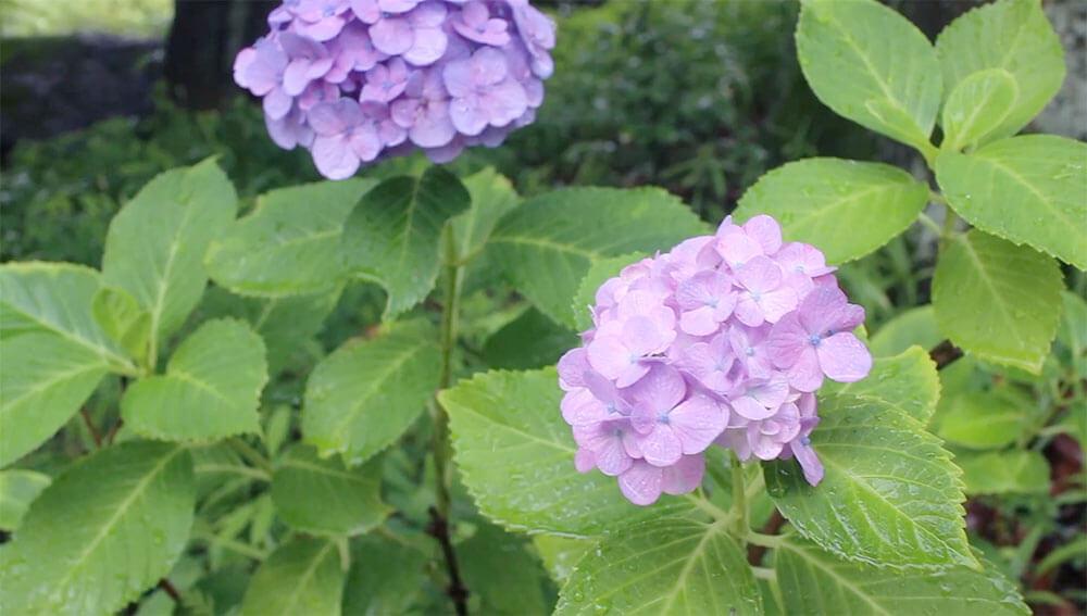 梅雨の景色 紫陽花の花